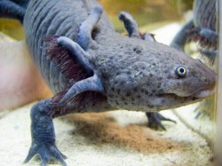 Salamander Genome Project/photo